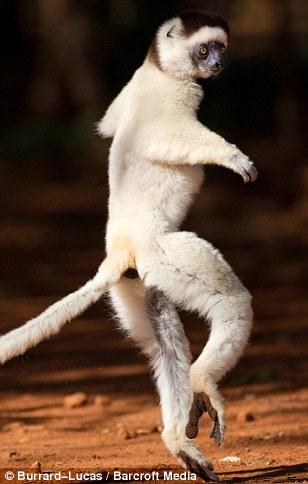 lemur dancing